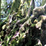 Antarctic Beech Trees of Gondwanaland