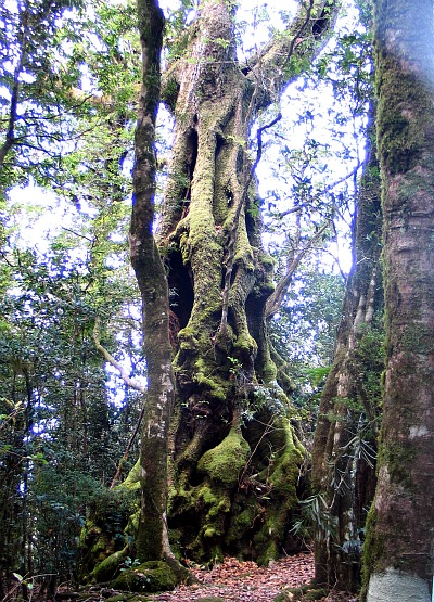 Antarctic Beech Tree, Australia