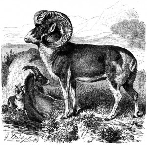 Engraving of a sheep