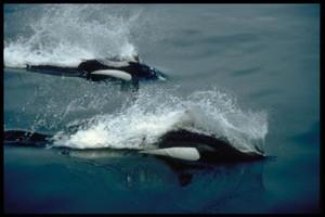 Two_Dalls_Porpoises