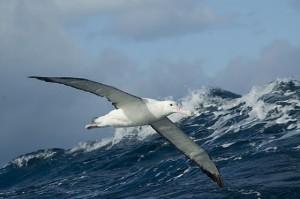 wandering-albatross