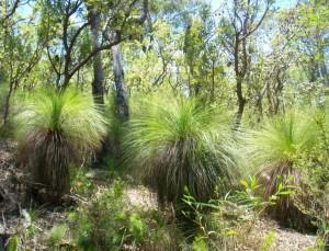 Blackboys Grass Trees