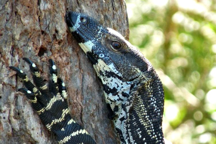 Image: Lace Monitor Australia