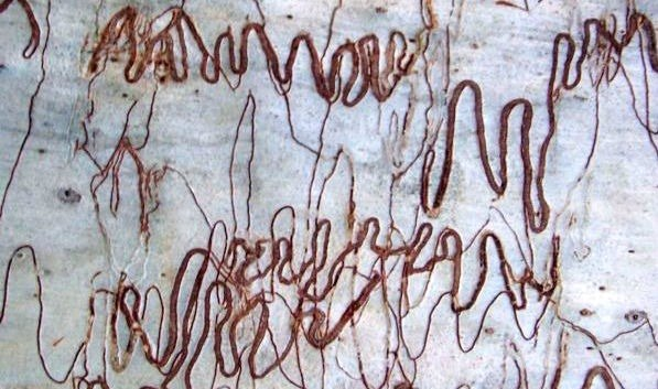 Comparing the scribbles on a tree trunk to hand writing
