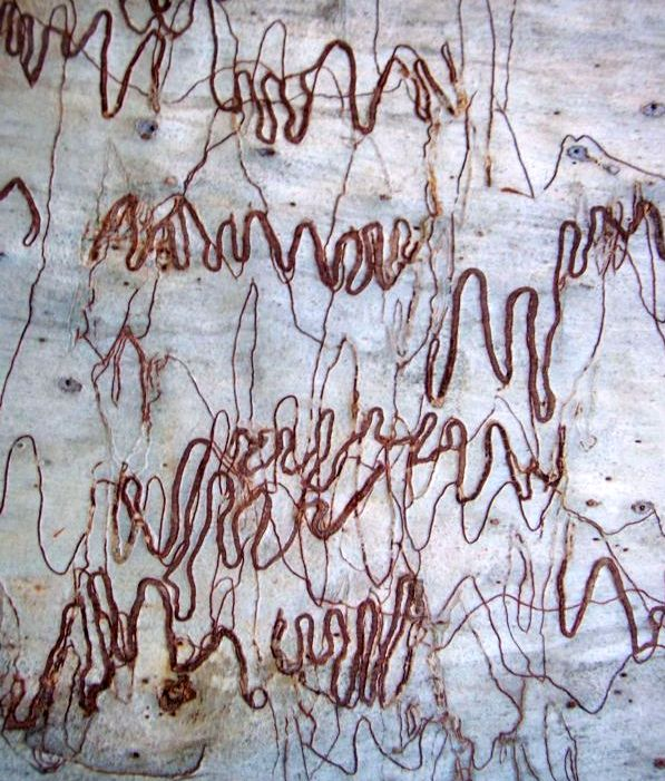 Scribbles in nature on the bark of this scribbly gum tree trunk