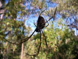 Australia spider