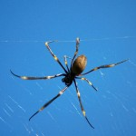 Spiders in Australia - The Golden Orb Web Spider