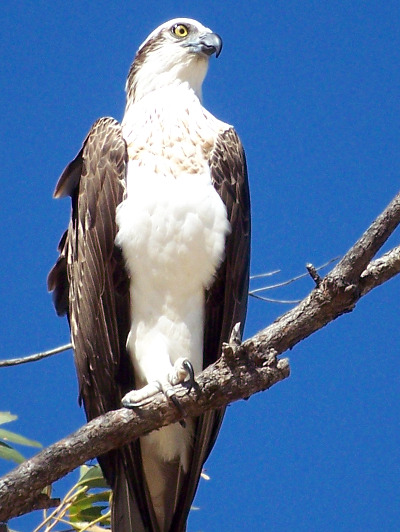 close up photo of an Osprey sitting on a branch