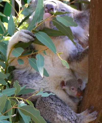 Koala with baby koala in its pouch