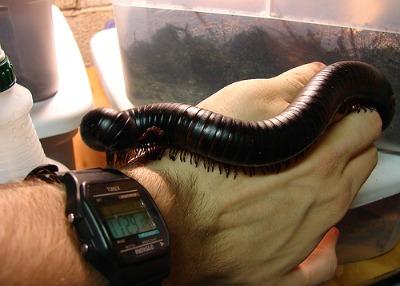 African centipede