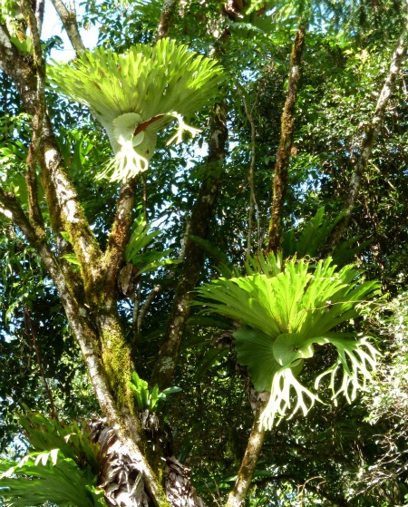 Epiphytes Staghorns In The Rainforest