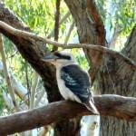 Kookaburra Sitting in the Old Gum Tree