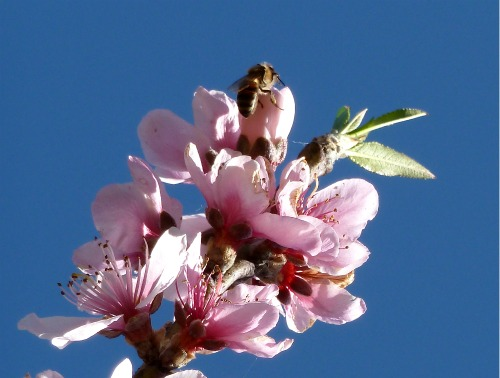 Bee on Blossom image