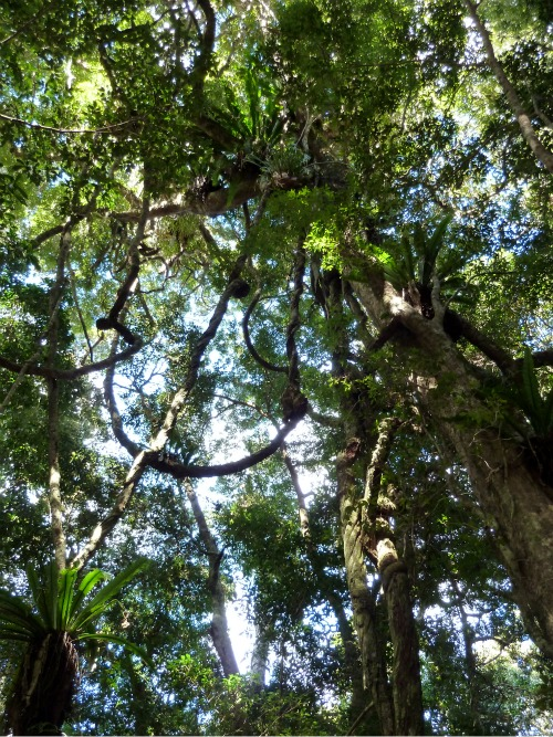 Australia Rainforest canopy