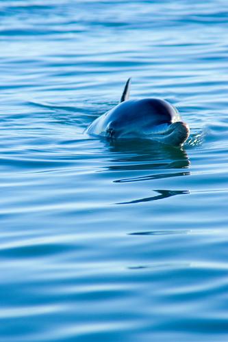 Dolphin at Monkey Mia, WA