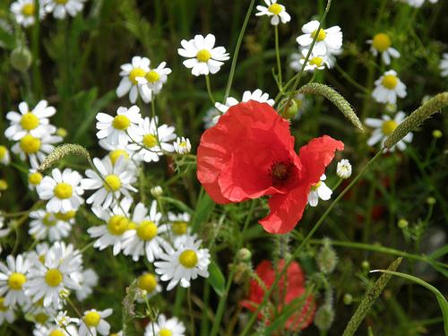 Wildflowers in Switzerland including a Poppy