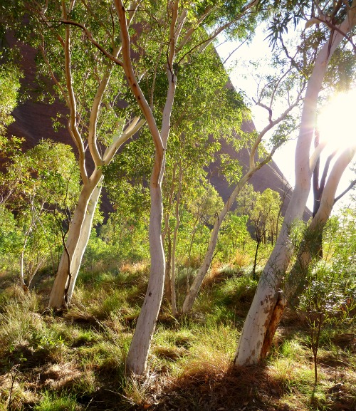 Uluru River Red Gum Trees