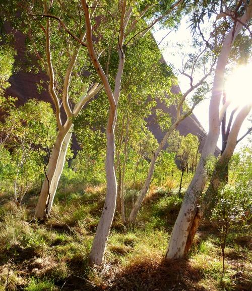 Uluru River Red Gum Trees