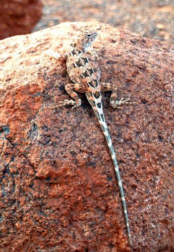 Kata Tjuta lizard