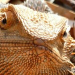 Bearded Dragon Photo