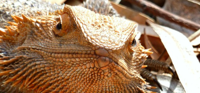 Image central bearded dragon