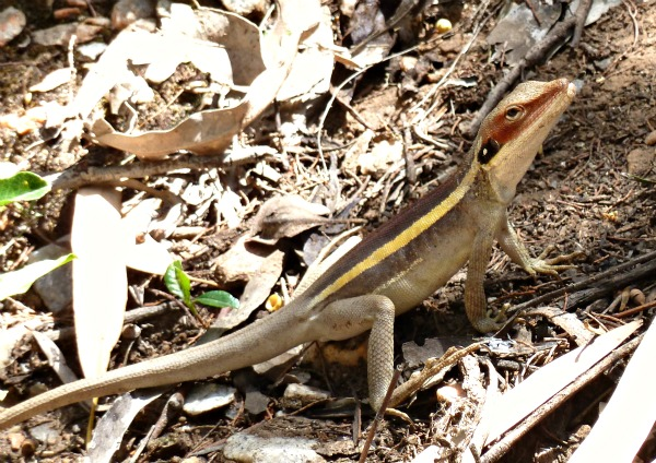 The Ta ta lizard, found in Australia is in fact one of the dragons