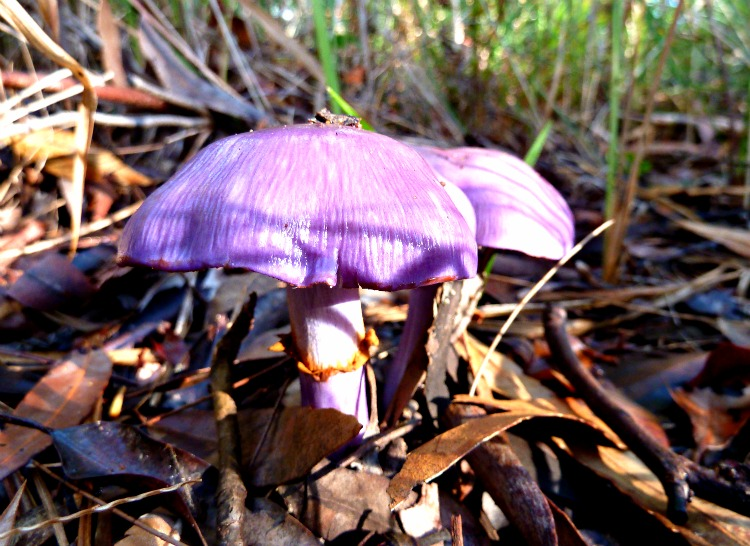 Cortinarius Australian fungi