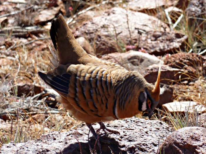 Spinifex_Pigeon