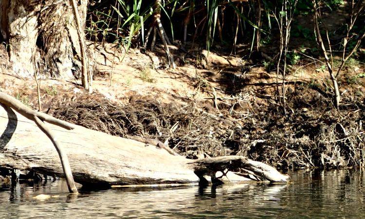fresh water crocodile katherine