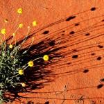 Yellow desert wildflower on red soil
