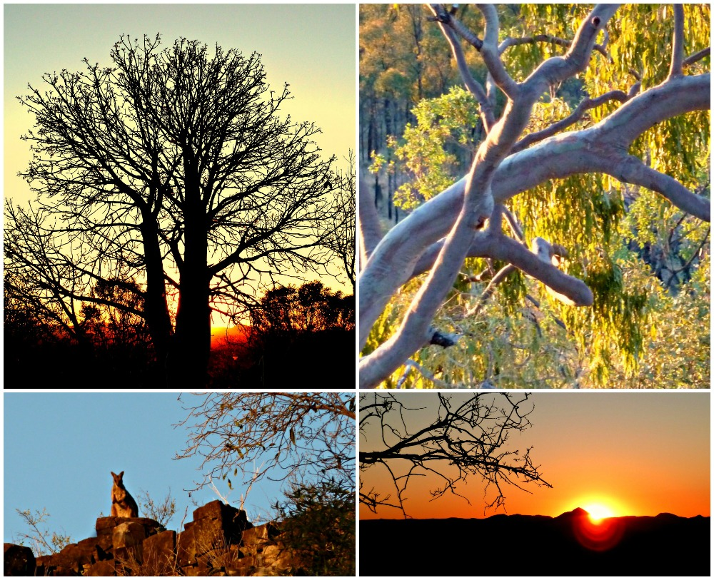Kurrajong tree at sunset with rock wallabies overlooking My Leura in the gemfields, queensland
