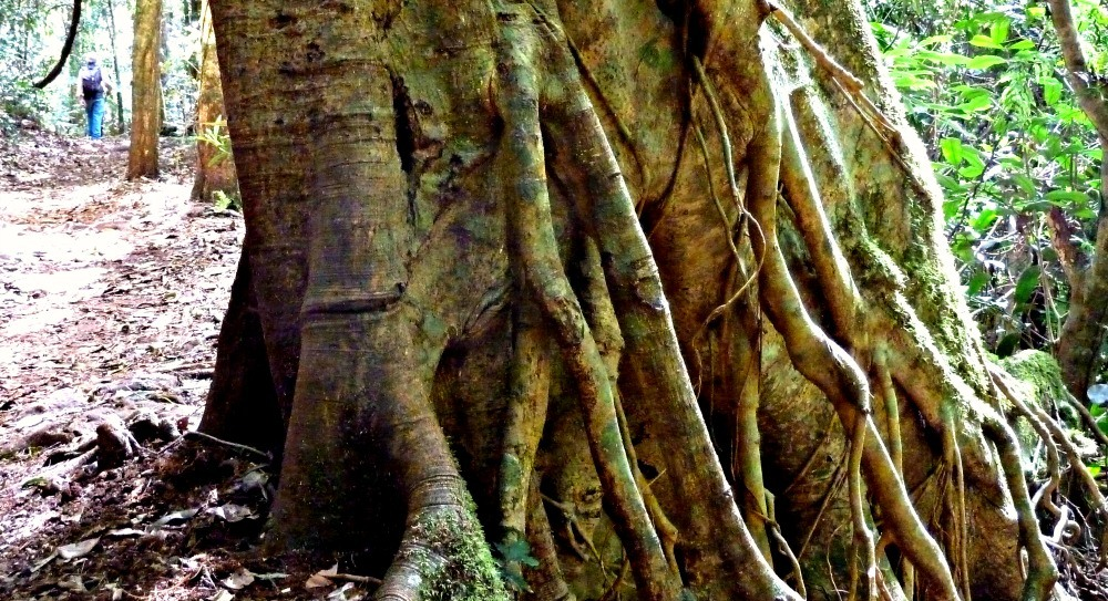 Binna Burra Rainforest