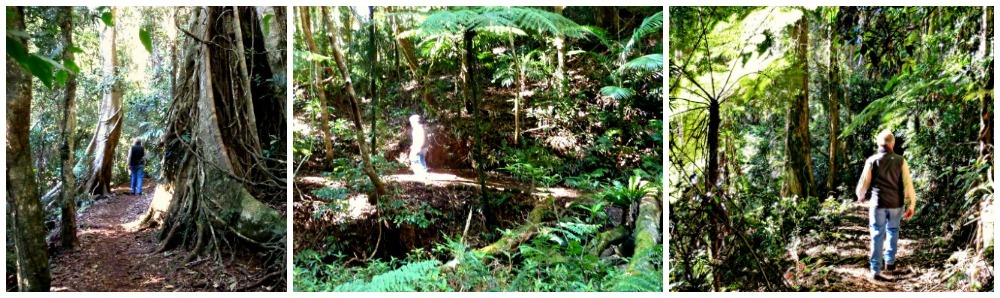 Daves Creek Circuit Binna Burra Walk through the natural vegetation
