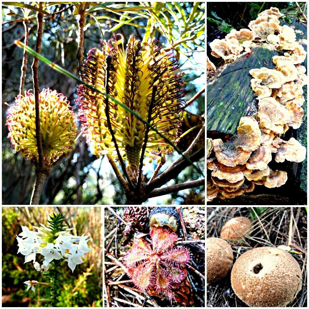 Wildflowers and Fungi Binna Burra