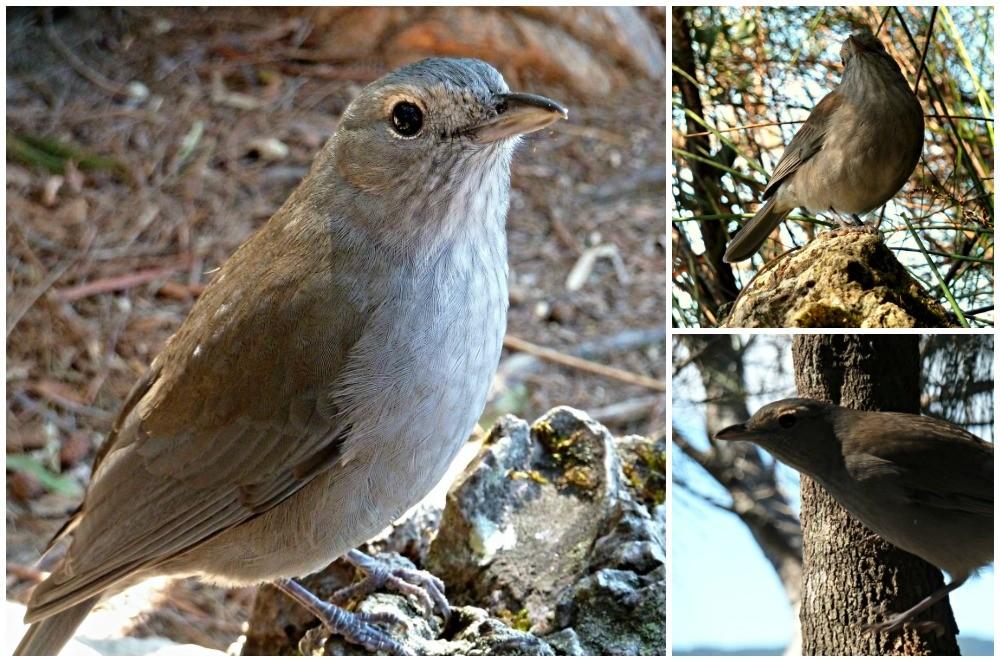Grey bird at Binna Burra a Shrike Thrush