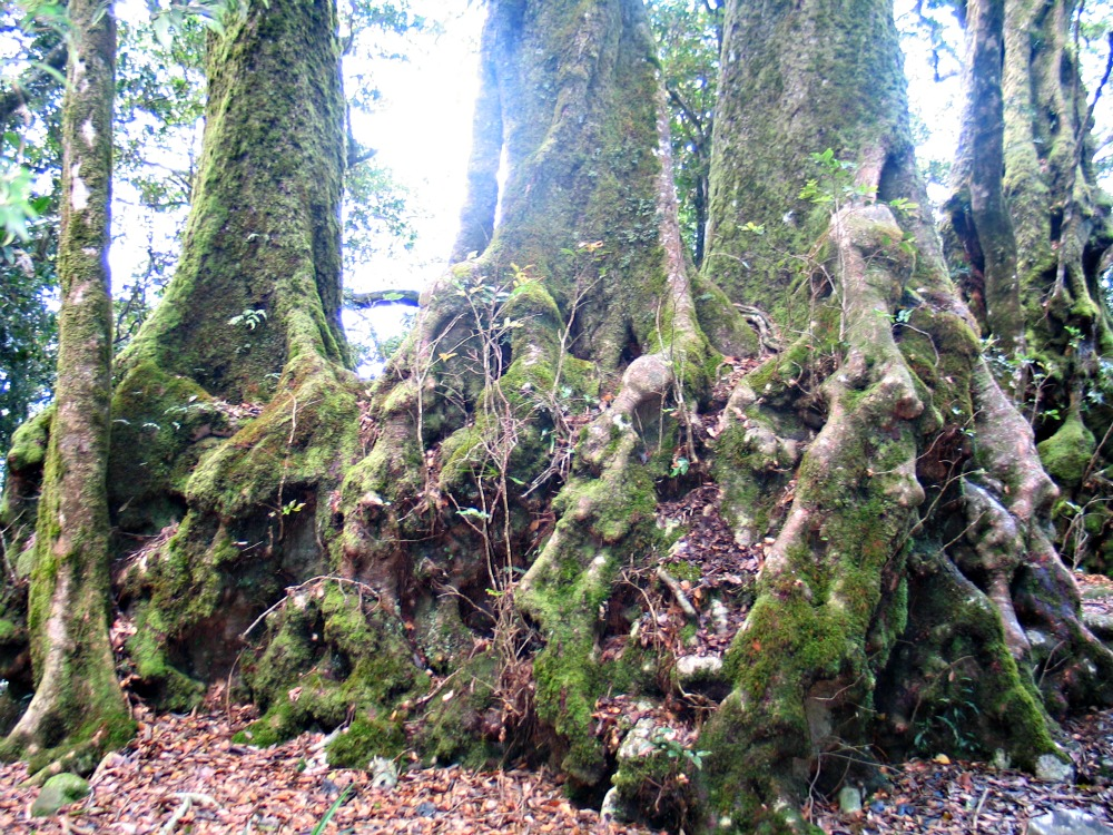 Antarctic Beech Trees