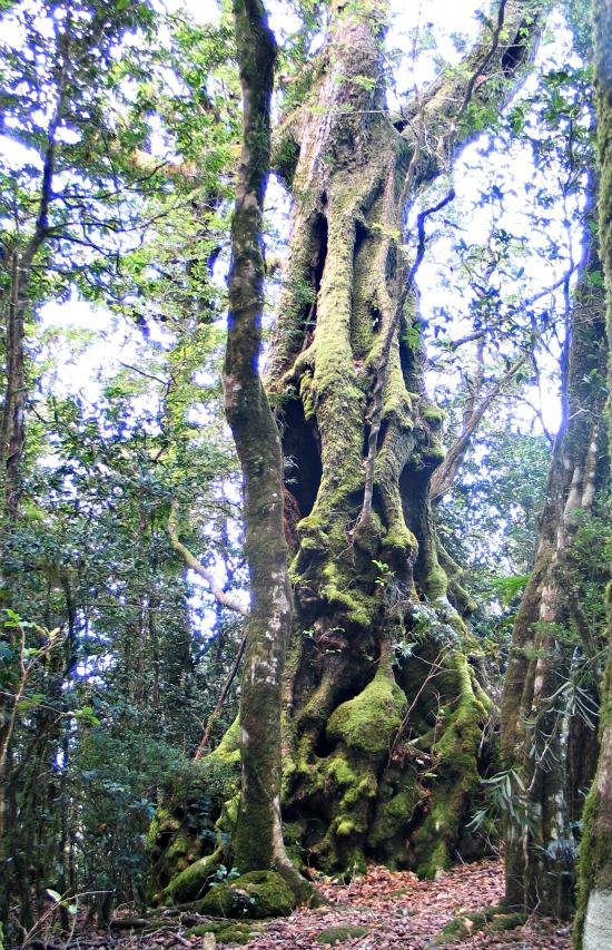 Antarctic Beech Tree