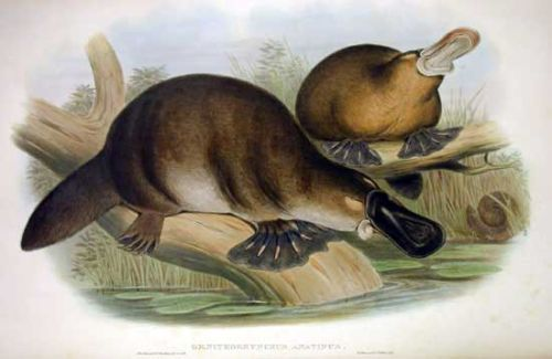 Platypus Sketch by John Gould 1863