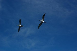 Pair_of_Blue-footed_Boobies_in_flight