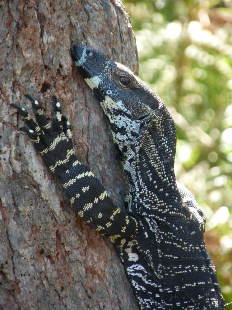 An Australian Lizard, the lace monitor, climbing a tree