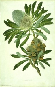 Banksia watercolour