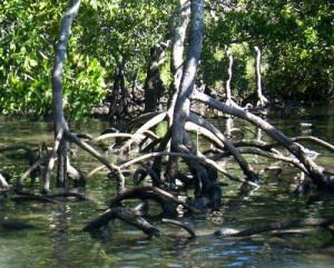 Image: Mangrove