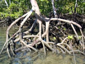 Image: Mangroves