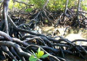 I,age Mangroves