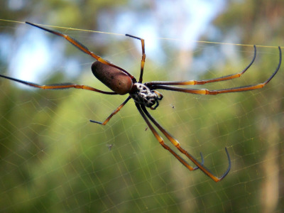 Golden orb web spider in its web