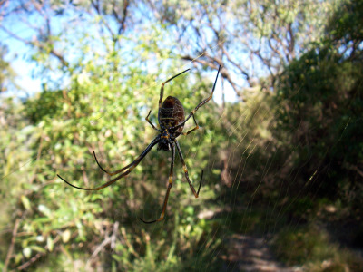 Australia spider across the path
