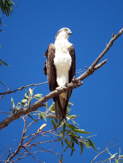Osprey sitting on a branch in a tree