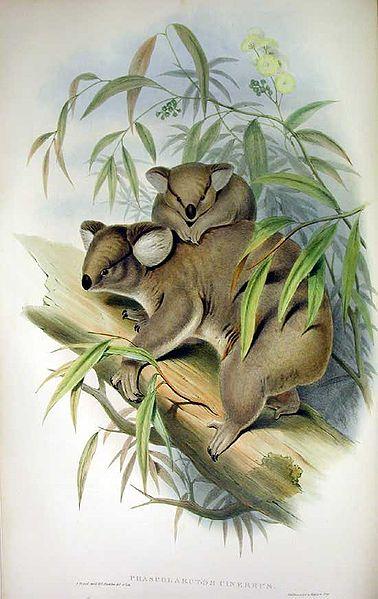 Koala by Gould 1863
