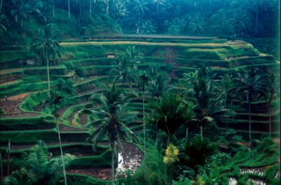 Rice paddies cascading down a green verdant hill