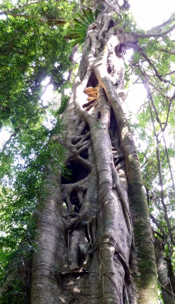 Strangler Fig Queensland Australia